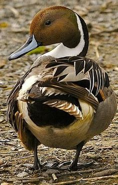 Northern Pintail (Anas acuta) male is a duck with wide geographic distribution that breeds in the northern areas of Europe, Asia and North America.  (252×396)