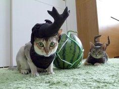 クワガタとカブトムシの被り物を付けた猫 | A!@attrip