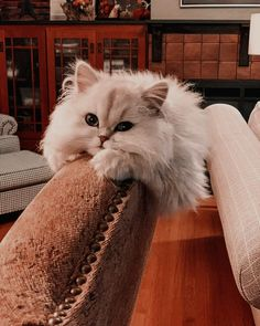 Persian Cat For Sale Cat PhotosPre-Loved Persian Kittens For Sale – – – Shipping Available! - Visit our website to see all of our currently available kittens. Cute Kittens, Cats And Kittens, Pretty Cats, Beautiful Cats, Animals Beautiful, Persian Kittens For Sale, Persian Cats, Cat Aesthetic, Photo Chat