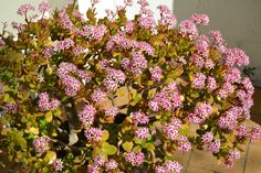 Portulacaria afra, better known as Spekboom, is an indigenous evergreen succulent tree that is predominantly found in the Eastern Cape. The tree forms an important part of the Valley Thicket Biome … Succulent Tree, Water Wise, Photosynthesis, Biomes, Cacti, Garden Inspiration, Evergreen, South Africa, Floral Wreath