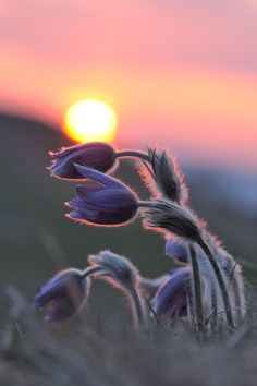 an evening spent with some beautiful pasque flowers   - best viewed on black -