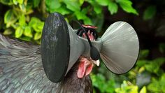 oculus for chickens