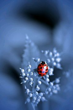 Ladybug in blue Beautiful Creatures, Animals Beautiful, Cute Animals, Lady Bug, Beautiful Bugs, Beautiful Pictures, Tier Fotos, Mundo Animal, All Gods Creatures