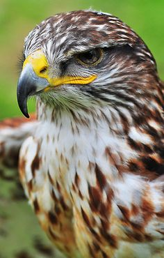 """The Ferruginous Hawk is a large bird of prey and belongs to the broad-winged buteo hawks. An old colloquial name is """"Ferrugineous Rough-leg"""",due to its similarity to the closely related Rough-legged Hawk.  This species is a large, broad-winged hawk of the open, arid grasslands, prairie and shrub steppe country; it is endemic to the interior parts of North America. It is used as a falconry bird in its native range."""