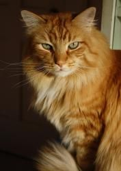 Puffy is an adoptable Domestic Long Hair - Orange And White Cat in McPherson, KS. Puffy is a handsome miniature lion who aspires to be the king of his very own jungle. He might take his time to get to...