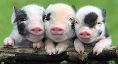 Three Pigs in a pod :)