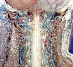 From the tiniest veins, arteries and nerves to serial cross-sections of the spinal cord, these incredibly detailed dissections show and labe...