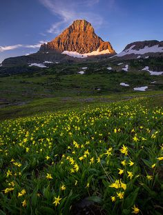 Glacier lilies, Glacier National Park, Montana