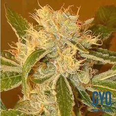 Archive Seeds Mr Danks Golden Ticket Regular Weed Seeds: A real zinger of a tongue-tingler, the Golden Ticket is lemon and lime heaven with flavours and aromas straight out of a Hawaiian lemon grove. You will want to grow and grow again for the diverse representations the parent plants produce in this interesting polyhybrid.