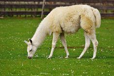 Lama, Blanc, Des Animaux, Mignon, Bon Aiderbichl, Asile