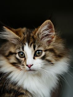 Norwegian Forest Cat | da rampx
