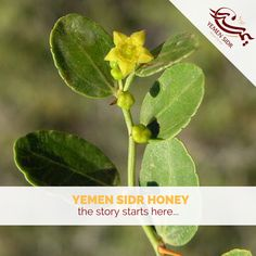 To appreciate this highly revered honey one has to understand the story behind its tree.. http://ift.tt/2hMBTn3