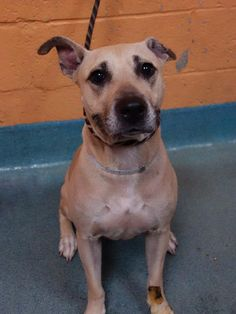 TO BE DESTROYED 7/15/14 Brooklyn Center -P  My name is DAISY. My Animal ID # is A1005434. I am a female tan germ shepherd and am pit bull ter mix. The shelter thinks I am about 3 YEARS old.  I came in the shelter as a STRAY on 07/02/2014 from NY 11233, owner surrender reason stated was OWNER DIED.