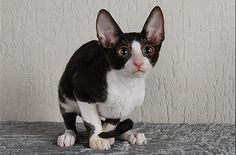 cornish rex cats   The The Cornish Rex Cat, Feline Profile, Character and Care   KittyCat ...