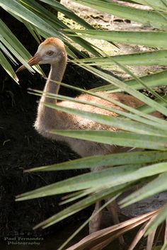 Sandhill Crane Chick among the Palms at the Brevard Zoo, Florida