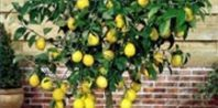 How to Grow Lemon Trees in Pots | eHow.com