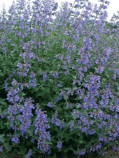 Nepeta Six Hills Giant, one of my garden  favourites and the bumblebees love it too :-)