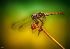 0434 Dragonfly by Quim Granell on 500px