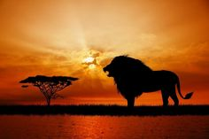 """Amazon.com - Lion at Sunset - 24""""W x 16""""H - Peel and Stick Wall Decal by Wallmonkeys -"""