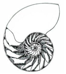 Sacred Geometry of The Nautilus Shell. An art class favorite to draw #Spectrumlearn #Smart with #art