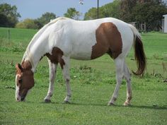 Brown And White Painted Horse by Tina M Wenger
