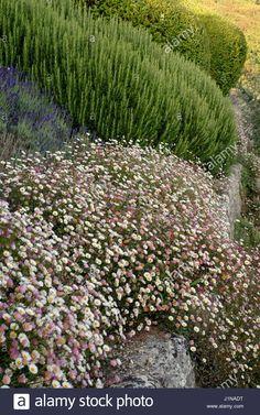 Image result for phlormis lavender cistus santolina rosemary Possible Combinations, Drought Tolerant, Season Colors, Shades Of Green, Evergreen, Lavender, Landscape, Planting, Gardens