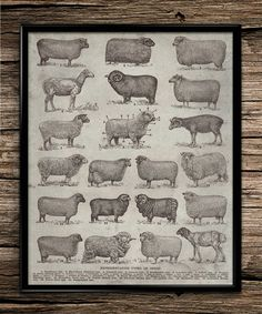 Vintage Types of Sheep |Animal Prints | Office Decor | Home Decor | Printable Wall Art | Vintage Wall Art | 8x10 | Instant Download |