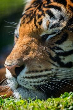 Look at that beautiful face. I had my picture taken with a tiger it was wonderful. My daughter was with me and the guys were in the TRUCK. Big Cats, Cool Cats, Cats And Kittens, Ragdoll Kittens, Tabby Cats, Funny Kittens, Bengal Cats, White Kittens, Adorable Kittens