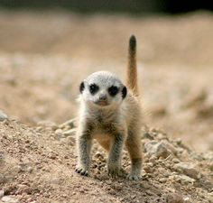 Baby Meerkat on the Hunt for Fun - ZooBorns Animals And Pets, Baby Animals, Cute Animals, Wild Animals, Young Animal, My Animal, Baby Meerkat, Zoo Photos, Beast Creature