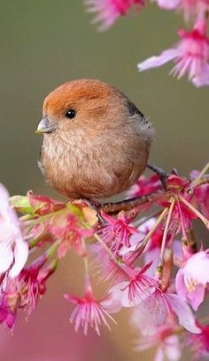 vinous-throated parrotbill and spring blossoms by Jack Overland Frost
