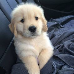 The Versatile Golden Retriever - Champion Dogs Chien Golden Retriever, Golden Retrievers, Animals And Pets, Baby Animals, Cute Animals, Cute Dogs And Puppies, I Love Dogs, Doggies, Golden Puppy