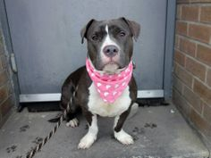 TO BE DESTROYED 5/9/14 Brooklyn Center  MACY GRAY - A0998106  FEMALE, GRAY / WHITE, PIT BULL MIX, 1 yr, 3 mos OWNER SUR - EVALUATE, NO HOLD Reason PERS PROB  Intake condition NONE Intake Date 04/29/2014, From NY 10465, DueOut Date 04/29/2014. https://www.facebook.com/photo.php?fbid=795334000479481&set=a.617941078218775.1073741869.152876678058553&type=3&theater