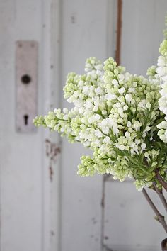 De geur van witte seringen - white lilacs