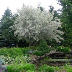 oliwnik wąskolistny - niewymagający 3-5m Silver Plant, Garden Trees, Country Roads, Plants, White Trees, Gardening, Rabbits, Backyard Ideas, Home