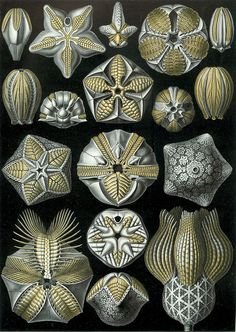 """""""Blastoidea"""", from Ernst Haeckel's Art Forms of Nature, 1904  -- Blastoids (Class Blastoidea) are an extinct type of stemmed echinoderm. Often called Sea-Buds, blastoid fossils look like small hickory nuts. They originated, along with many other echinoderm classes, in the Ordovician period and reached their greatest diversity in the Mississippian subperiod of the Carboniferous period. Blastoids persisted until their extinction at the end of Permian, about 250-million years ago"""