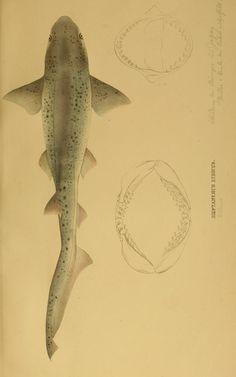 Systematische Beschreibung der Plagiostomen  Berlin :Veit,1841.  Biodiversitylibrary. Biodivlibrary. BHL. Biodiversity Heritage Library  http://blog.biodiversitylibrary.org/2012/08/book-of-week-shark-week-celebrates-its.html