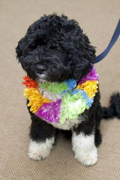 Bo, a six-month old male Portuguese water dog, is seen in this White House photograph released April 12, 2009. The dog was a gift from Massachusetts Senator Ted Kennedy and his wife Victoria to the Obama girls, Sasha and Malia. Source: White House