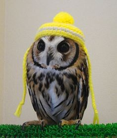 owl in a hat - how cute Owl Photos, Owl Pictures, Cute Animal Pictures, Funny Owls, Cute Funny Animals, Animals And Pets, Baby Animals, Owl Pet, Beautiful Owl