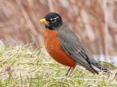 Michigan State Bird - the American Robin