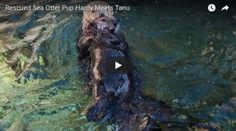 """As you might recall, Vancouver Aquarium took in little Hardy, now four  months old,after he was found alone near Vancouver Island this summer.  He's doing really well in his new home and has now made a new friend in  13-year-old resident otter Tanu! Vancouver Aquarium writes:  """"It was a very s"""