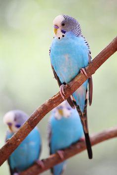 .perruche ondulee bleu