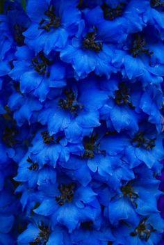 I love blue flowers Delphinium Azul, Delphiniums, Delphinium Flowers, Bouquet Flowers, Bouquets, Amazing Flowers, Beautiful Flowers, Beautiful Gorgeous, Exotic Flowers