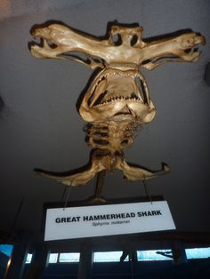 hammer shark skull skeleton - Google Search