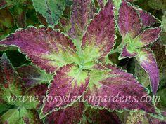 Glennis - Rosy Dawn Gardens