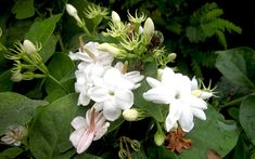 Indischer Jasmin (Pflanze) 5,85 EUR - 8cm Topf
