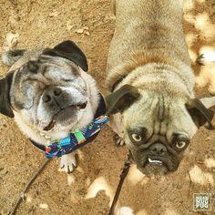 """You should all wish my friend Simon happy birthday. He's been a very good boy."" -Ozzy w/@simon_bella #lapugmeetup by meanmugpug #lacyandpaws #mypugfriends #pug #pugs #puglife #pugsofinstagram #puggle #puglove #pugpuppy #pugstagram #instapug #pugnation #pugworld #puglover"