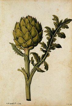 stilllifequickheart:    Jacques Le Moyne de Morgues  Artichoke  1575