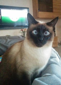 Siamese cats (95 pictures) (9)                                                                                                                                                     More