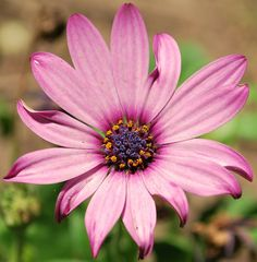 African Daisy || Cleans the air of pollutants