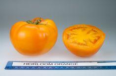 Heirloom Orange heirloom tomato, grown at Rutgers NJAES research farms.